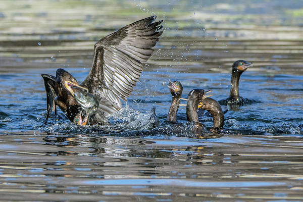 Photograph - Cormorants And Fish 5261-022619-1 by Tam Ryan