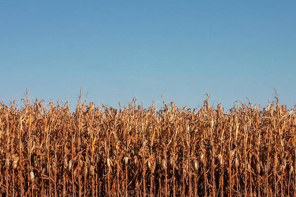 Corn Field Photograph - Corn And Sky by Todd Klassy