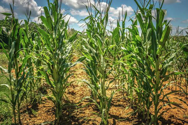 Photograph - Corn Farm Field On A Sunny Day by Alex Grichenko