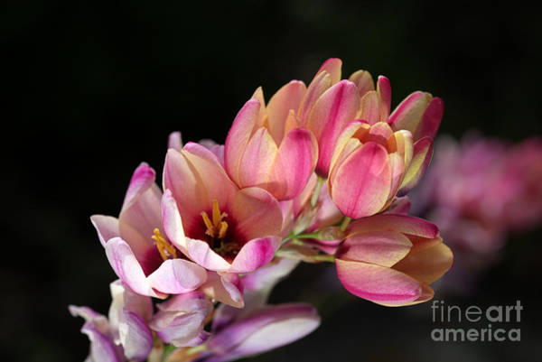 Photograph - Corn Lilies Or Ixia Flowers  by Joy Watson