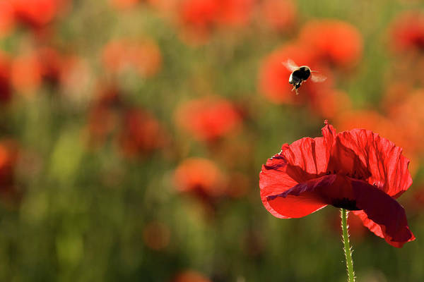 Bee On Flower Wall Art - Photograph - Corn Poppies Papaver Rhoeas, And Bumble by Westend61
