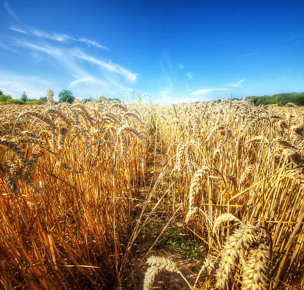 Outdoors Photograph - Corn Rield by Haaghun