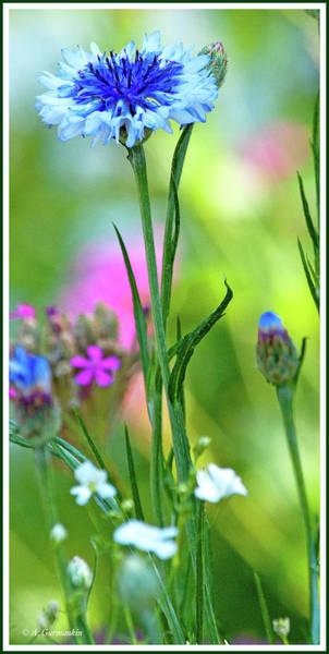 Photograph - Cornflower In A Summer Garden by A Gurmankin