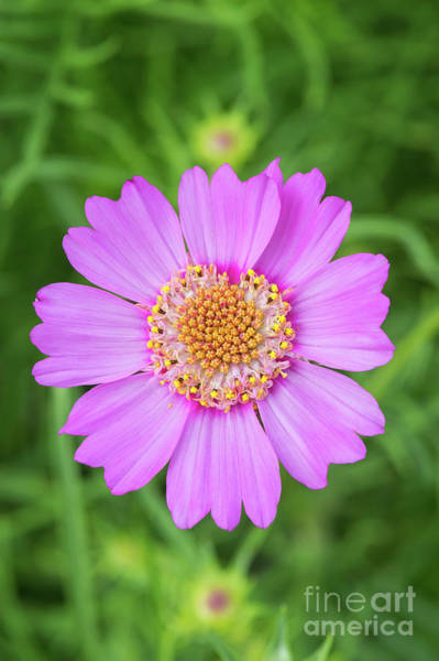 Photograph - Cosmos Bipinnatus Pink Popsocks by Tim Gainey