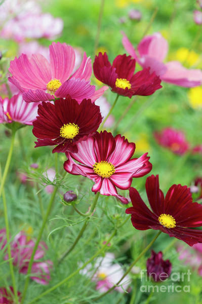Photograph - Cosmos Bipinnatus Velouette Flowers by Tim Gainey