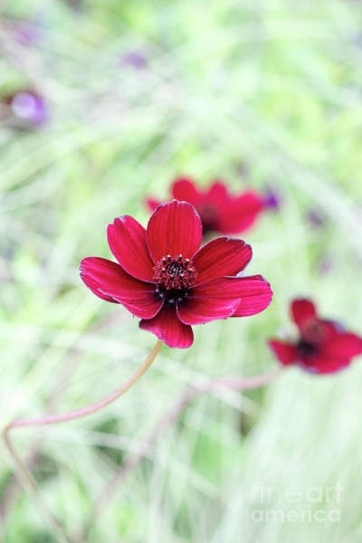 Wall Art - Photograph - Cosmos Black Magic Flower by Tim Gainey