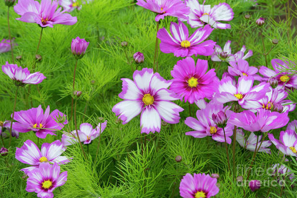 Wall Art - Photograph - Cosmos Capriola Flowers In Summer by Tim Gainey