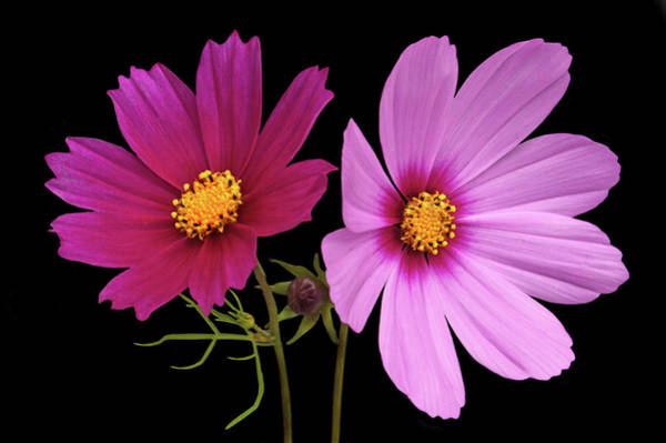 Wall Art - Photograph - Cosmos Duet by Terence Davis