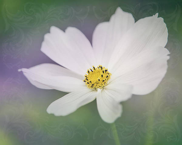 Photograph - Cosmos Elegance By Tl Wilson Photography by Teresa Wilson