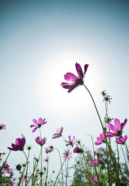 Campus Photograph - Cosmos Flower by Sg Photography