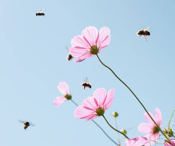 Bee On Flower Wall Art - Photograph - Cosmos Flower With Flying Bees by Quilie