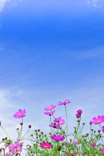 Sparse Photograph - Cosmos Flowers And Blue Sky by Michihiko Kanegae/a.collectionrf