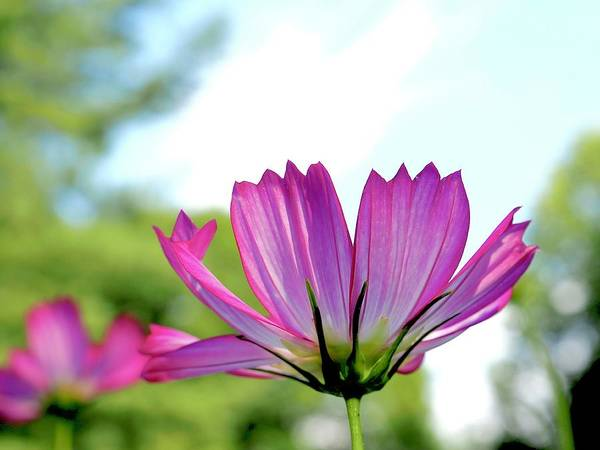 Wall Art - Photograph - Cosmos Reach For The Sky by Alida M Haslett