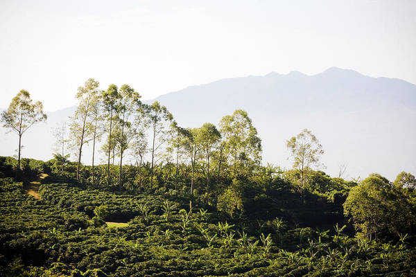 Cultivate Photograph - Costa Rica, Alajuela, Coffee Plants At by Bob Stefko