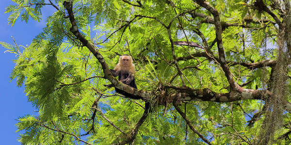 Wall Art - Photograph - Costa Rica Capuchin Curious Monkey  by Betsy Knapp