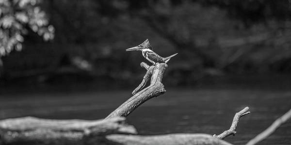 Wall Art - Photograph - Costa Rica King Fisher by Betsy Knapp