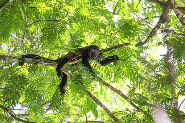 Wall Art - Photograph - Costa Rica Lounging Howler Monkey by Betsy Knapp