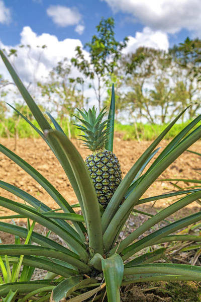 Wall Art - Photograph - Costa Rica Naturally Growing Pineapple by Betsy Knapp