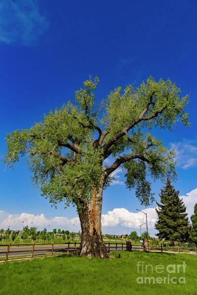 Photograph - Cottenwood Tree by Jon Burch Photography