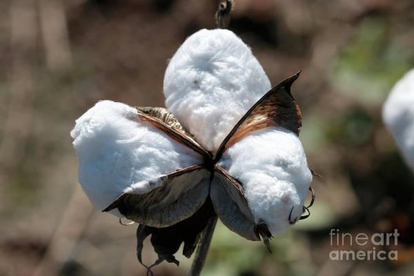 Wall Art - Photograph - Cotton Closeup by Carol Groenen