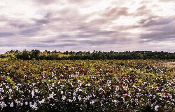 Photograph - Cotton Field 23 by Andrea Anderegg