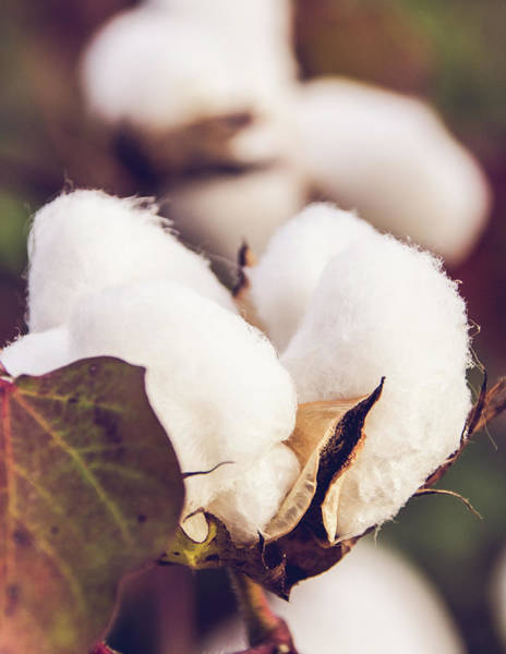 Photograph - Cotton Field 24 by Andrea Anderegg