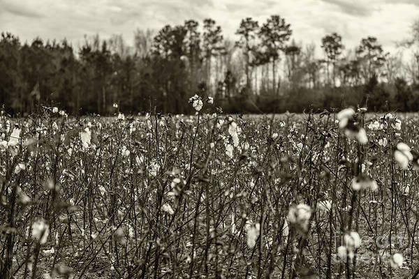 Photograph - Cotton Field - Harvest by Dale Powell