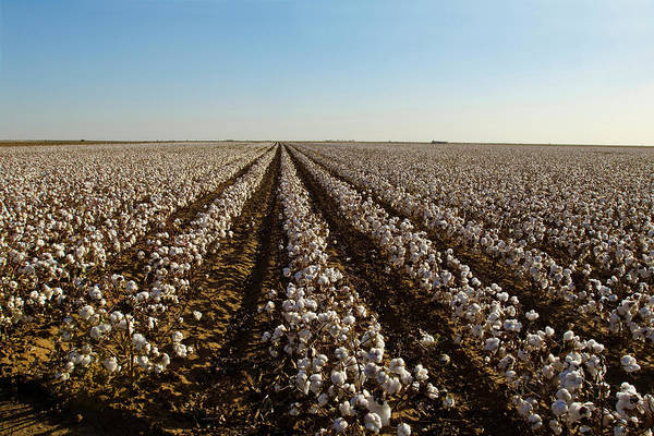 Texas A Photograph - Cotton Field, Ready For Harvest by Danita Delimont