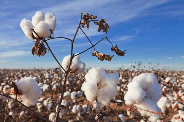 Fiber Photograph - Cotton In Field Ready For Harvest by Dszc