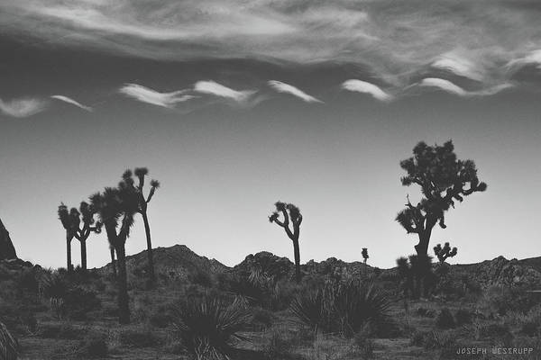 Wall Art - Photograph - Cotton Sky On Joshua Trees by Joseph Westrupp