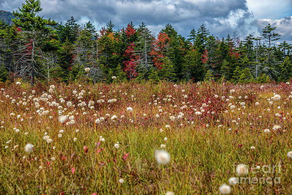 Photograph - Cottongrass In Cranberry Glades  by Thomas R Fletcher