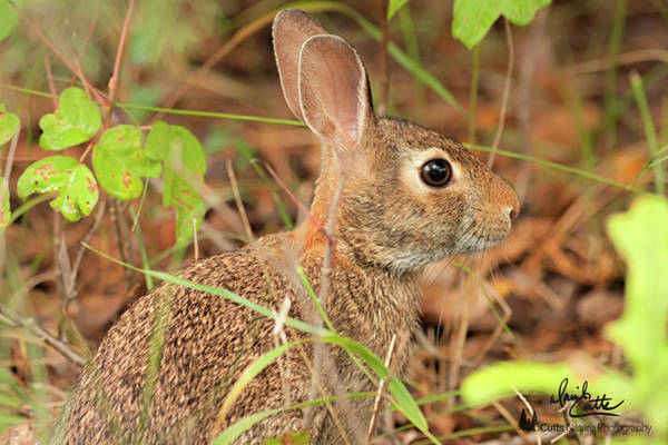 Photograph - Cottontail In Hiding by David Cutts