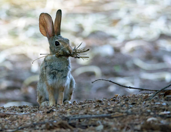 Photograph - Cottontail Rabbit 5202-080819 by Tam Ryan