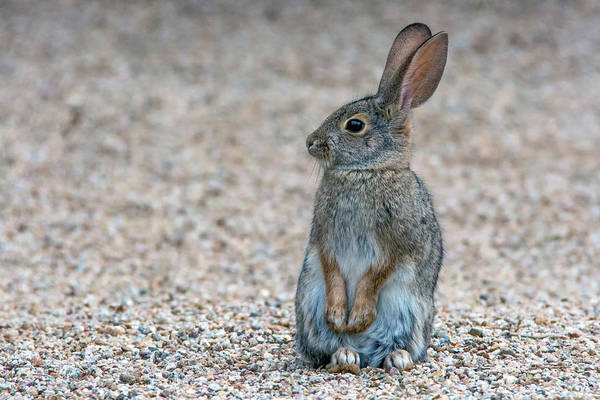 Photograph - Cottontail Rabbit 5338-121518-1 by Tam Ryan