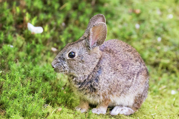Cottontail Wall Art - Photograph - Cottontail Rabbit At Portland Japanese by William Sutton