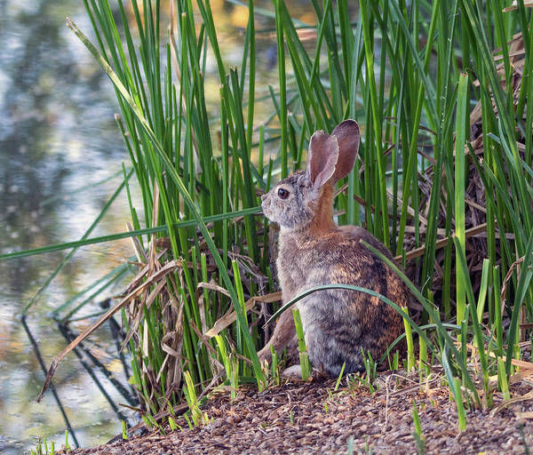Photograph - Cottontail Rabbit Eating Cattails 8685-042819 by Tam Ryan
