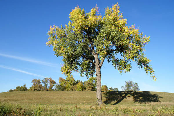 Horizontal Landscape Photograph - Cottonwood Tree-horizontal by Dlerick