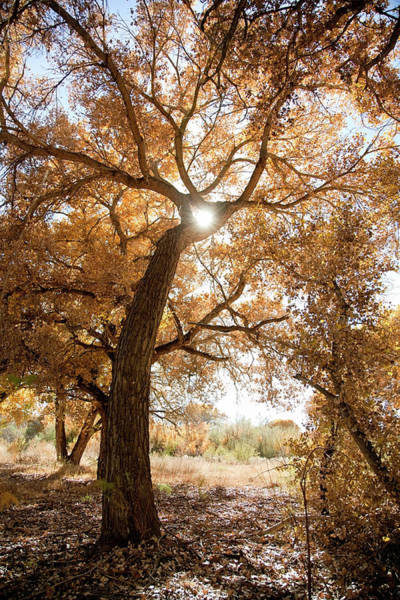 New Leaf Photograph - Cottonwood Tree In Fall Colors by Duckycards