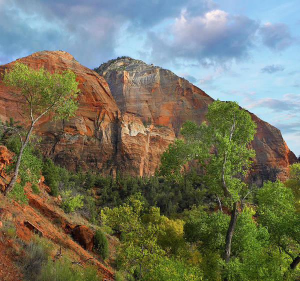 Photograph - Cottonwood Trees And Mountain, Zion by