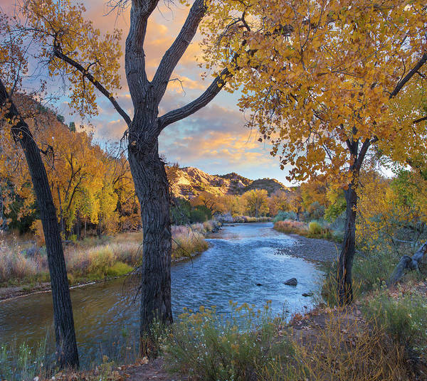 Photograph - Cottonwoods Along The Rio Grande, Wild by