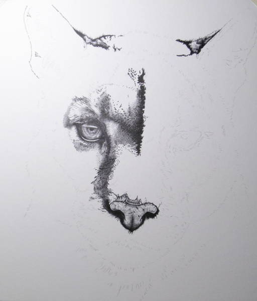 Drawing - Cougar Day 6 by Barbara Keith