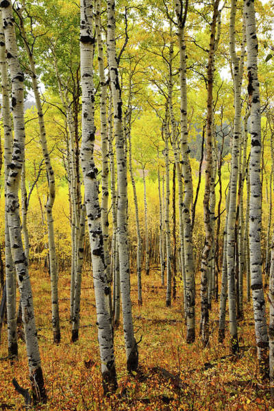 Photograph - County Road 5 Aspen Grove by Ray Mathis