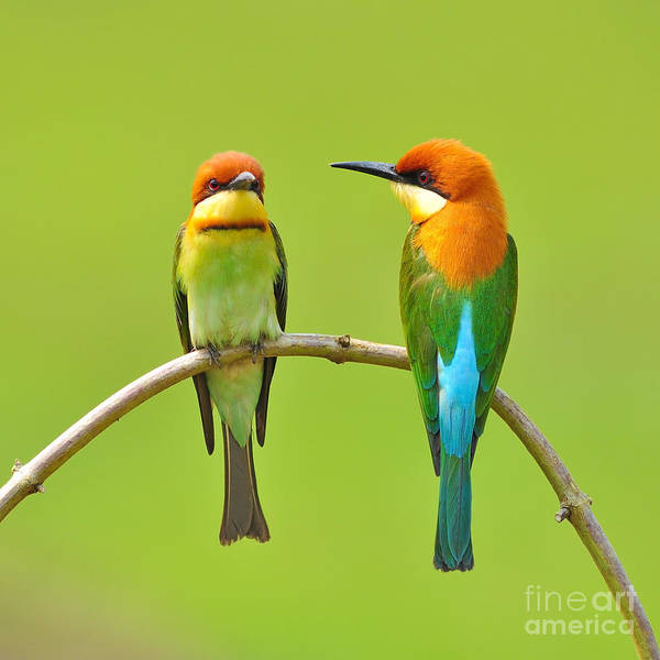 Wall Art - Photograph - Couple Of Bee Eater Bird by Butterfly Hunter