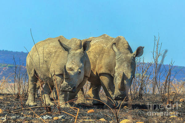 Photograph - Couple Of Black Rhino by Benny Marty