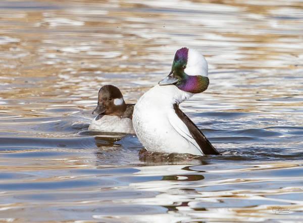 Photograph - Courting Bufflehead Ducks by Judi Dressler