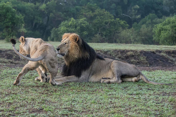 Photograph - Courting Lions by Mark Hunter