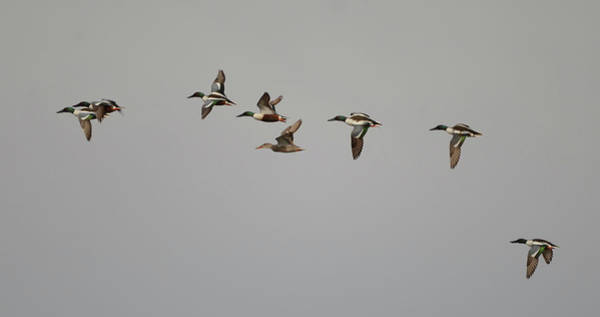 Wall Art - Photograph - Courtship Flight- Northern Shoveler by Whispering Peaks Photography