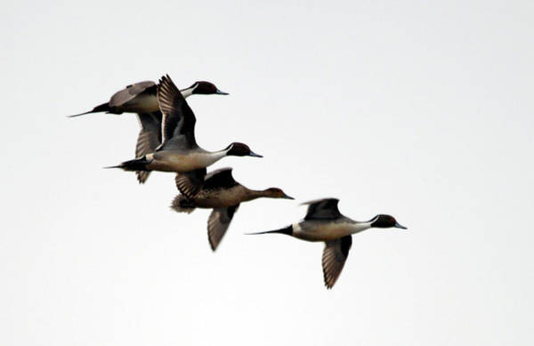 Wall Art - Photograph - Courtship Flight- Pintails by Whispering Peaks Photography