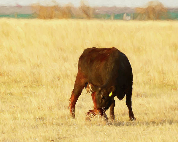 Photograph - Cow And Calf 03 by Rob Graham