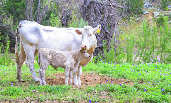 Photograph - Cow And Calf In Texas Hill Country by Dan Sproul